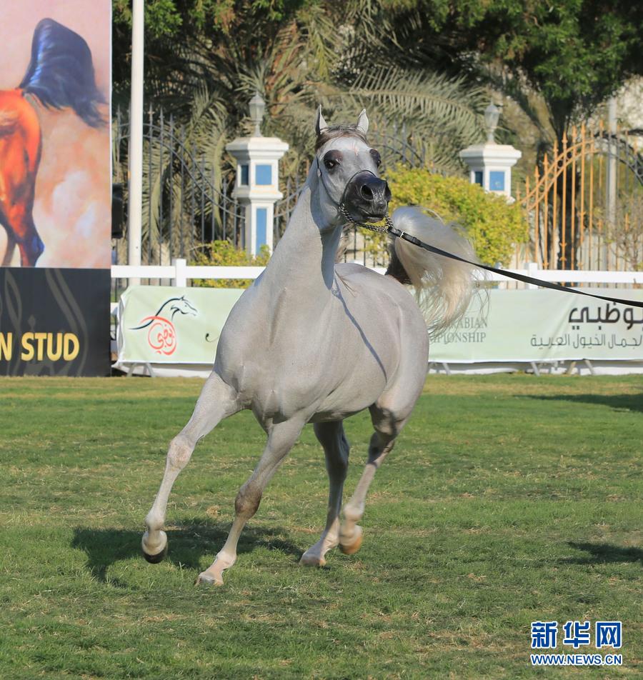 """一匹马参加2016阿拉伯纯种马""""选美""""国际锦标"""