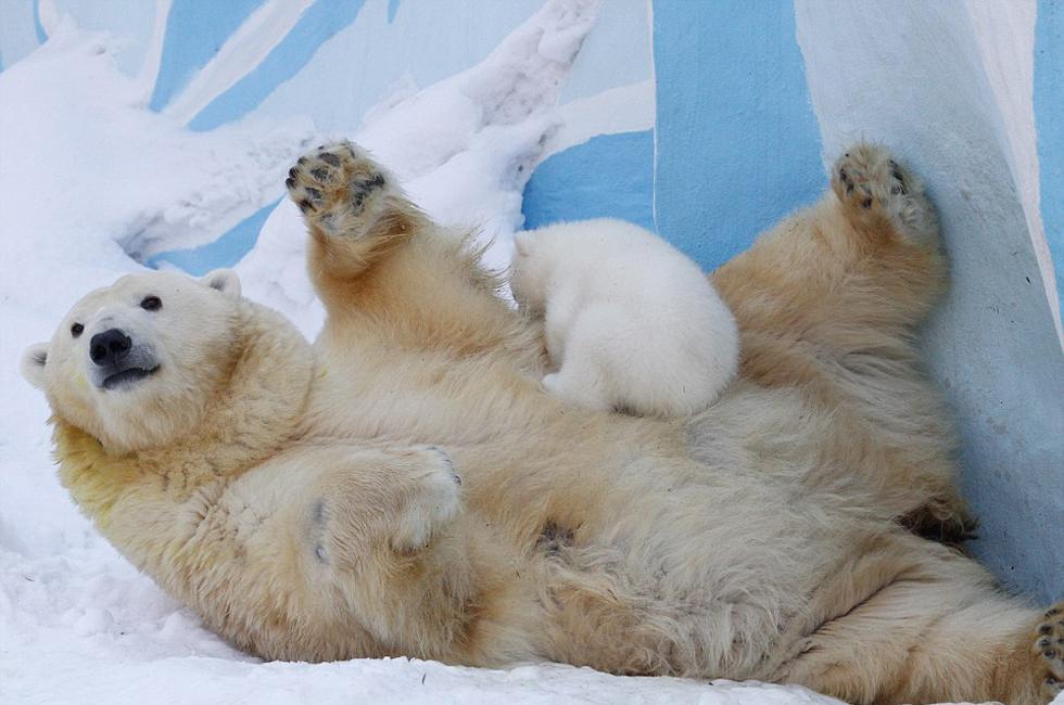 刚出生的北极熊宝宝_俄罗斯动物园北极熊母女雪中嬉戏 萌化游客(高清组图)-新华网