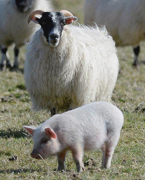 英宠物猪离家与羊为伍 主人抓捕不肯归(图)