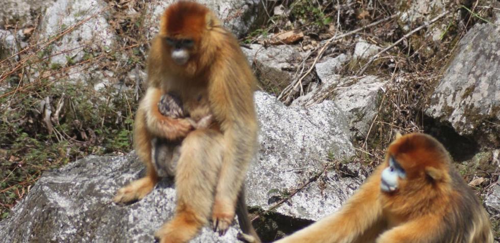 """神奇自然!野生猴子分娩也有""""助产婆"""""""
