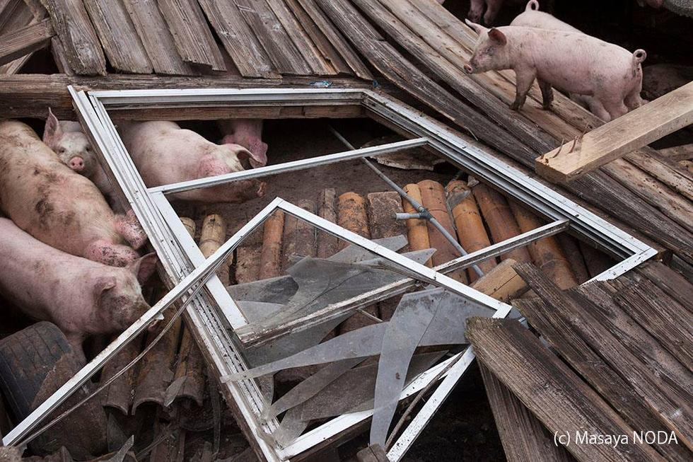 """日本熊本地震现""""猪坚强"""" 被解救后送往屠宰场"""