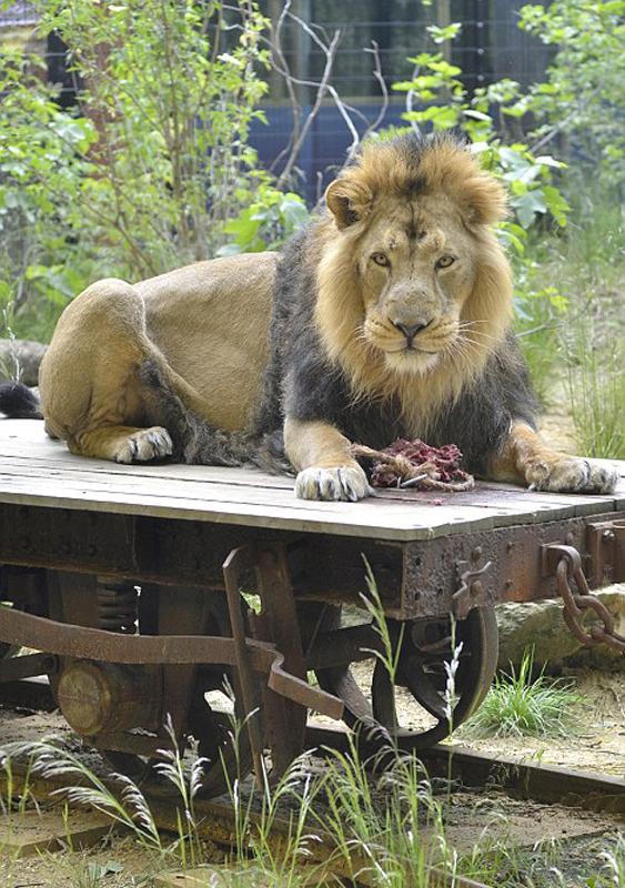 英动物园建狮子酒店 邀游客与狮共眠(图)