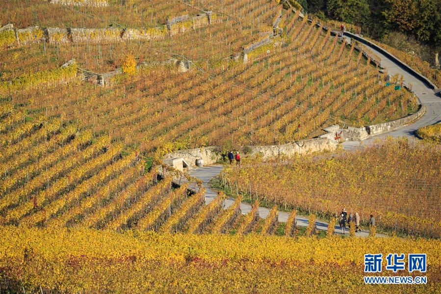 (国际)(2)瑞士:深秋的拉沃葡萄园