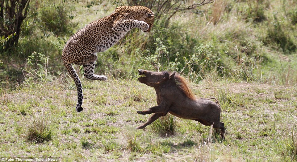 """豹子可以跳多高?一组怀孕母豹""""飞""""向疣猪照片公布"""