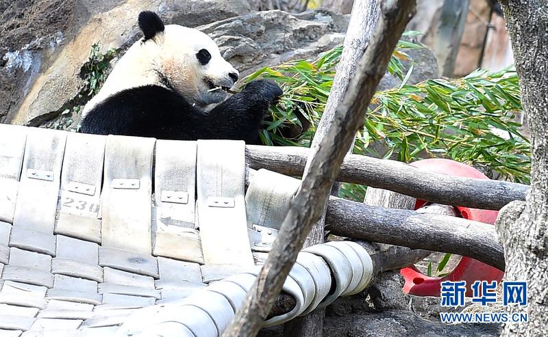 """国家动物园的大熊猫""""宝宝""""将于2月21日回归中国"""