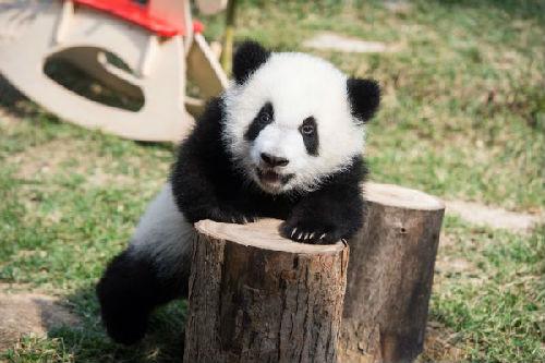 """美媒回顾""""熊猫外交""""历史:从表达善意到""""答谢""""贸易伙伴"""