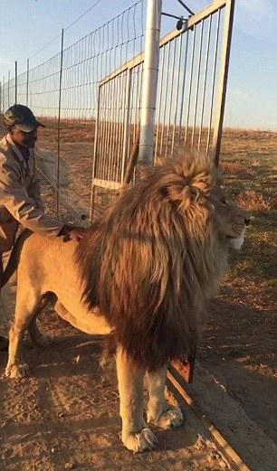南非傲娇雄狮每日堵路中间求管理员拥抱 不抱不走