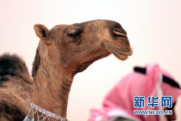 骆驼也选美?沙特骆驼节获胜可得两亿多奖金