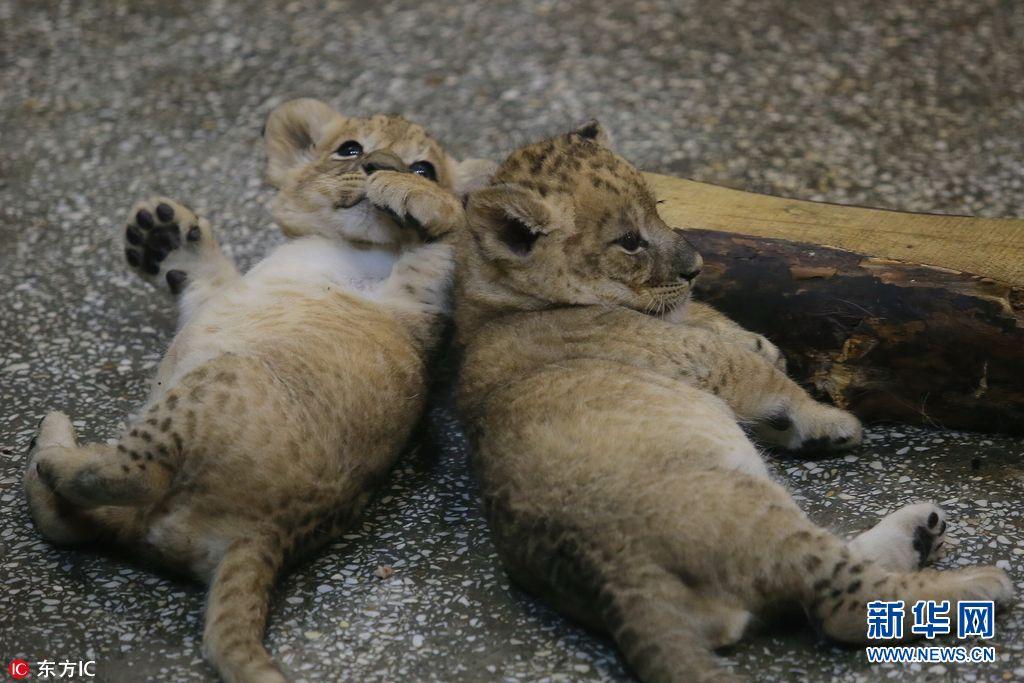 俄两只新生小狮子动物园内尽情嬉戏卖萌(组图)