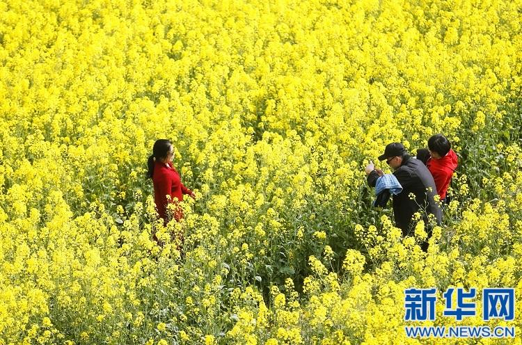 江西安义:春风十里至安义 万亩油菜花似海