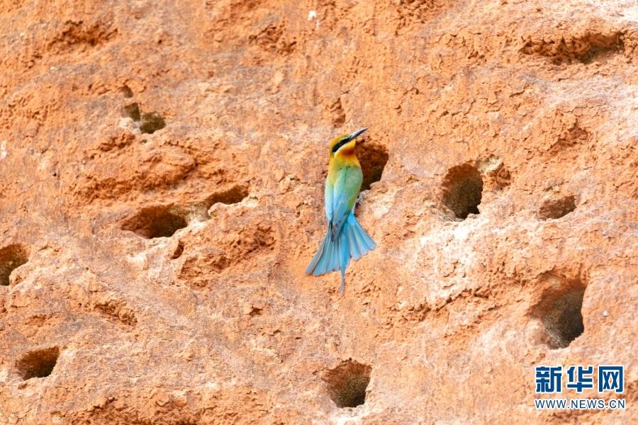 """每年的5、6月份,栗喉蜂虎都会来到云南省保山市施甸县怒江东岸,在土崖上挖穴为巢。栗喉蜂虎属蜂虎科鸟类,为国家二级保护野生动物。其羽毛艳丽,主要生活在东南亚一带,在我国的福建、广东、云南、海南等地有分布,被誉为""""中国最美丽的鸟""""之一。新华网发(杜海生 摄影报道)"""