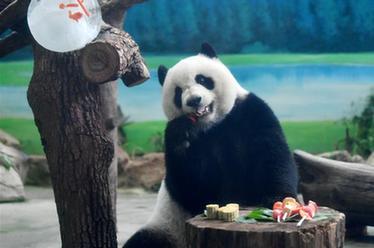 """大熊貓吃""""月餅""""過中秋"""