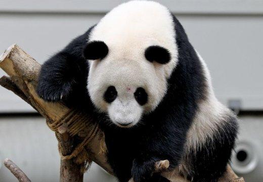 旅馬大熊貓寶寶慶祝2歲生日 挂樹上秀技