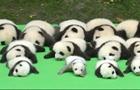 大熊貓寶寶集體亮相
