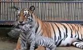 罕見白虎寶寶亮相