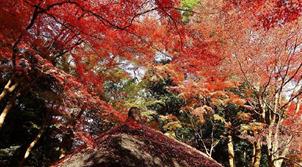 日本小石川後樂園紅葉絢爛