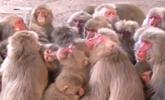 日本:500猴子報團取暖