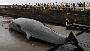 日本捕鯨屢禁不止