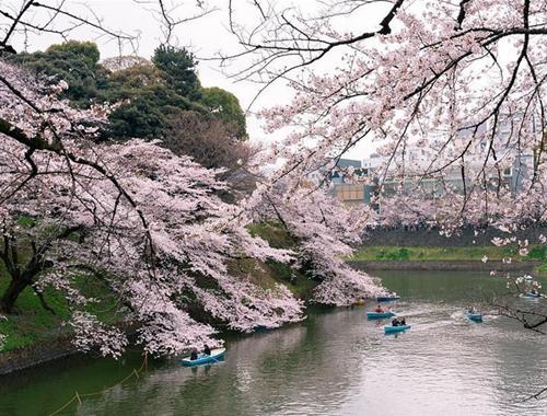 探訪日本櫻花季 遊客如織