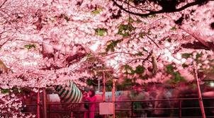 日本東京千鳥淵迎來櫻花祭