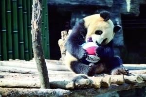 北京大熊貓家族迎新客