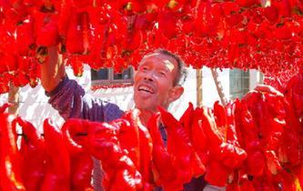 新疆哈密:三塘湖辣椒火紅豐收