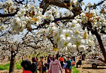 梨花溢香滿園春