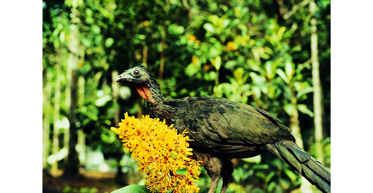 杜戈的學名叫綠背冠雉,在分類上屬于鳳冠雉科,僅分布于法屬圭亞那原始森林的西部邊緣。