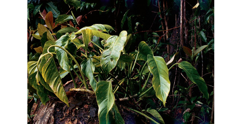 附生植物是熱帶雨林結構中一個特別的組成部分。全世界共有65科850屬約3萬種附生植物。