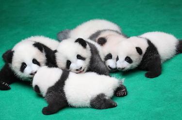 成都:7只新生大熊貓齊亮相