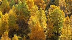 樺樹之秋:青海北山