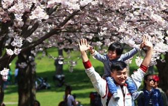 加拿大多倫多櫻花綻放