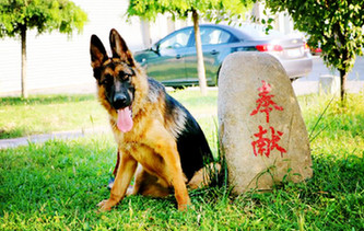 一只軍犬的述職報告:我憑什麼名震犬圈