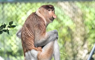 中國首次引進瀕危物種大鼻猴