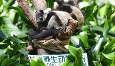 廣州長隆成功繁育中國首例斑狐猴三胞胎