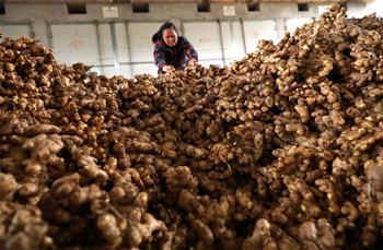 貴州丹寨生姜豐收