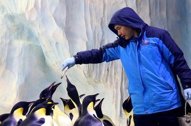 """在亞熱帶養企鵝——企鵝""""老爸""""與他的一家"""