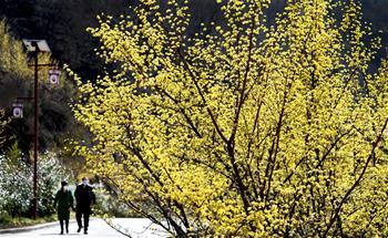 秦嶺深處十萬畝山茱萸盛開
