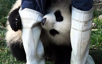 """大熊貓""""奇一""""抱大腿成網紅 萌翻眾粉絲"""