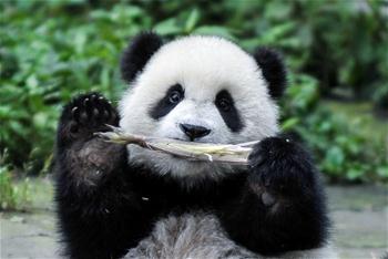 """大熊貓有了""""新家園"""""""