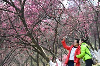 邕城櫻花絢爛時