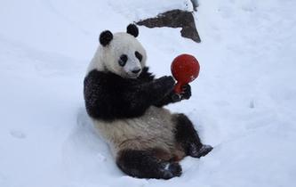 旅芬大熊貓適應新環境