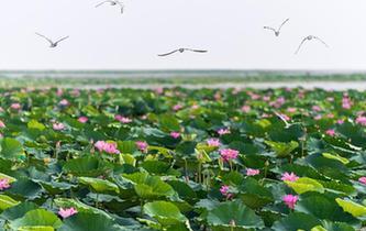 看今日洪湖:鷗鳥翔集 萬荷飄香