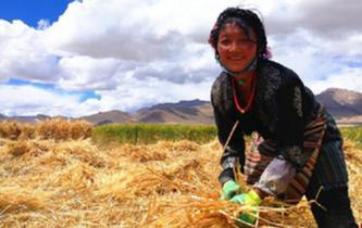 西藏各地青稞進入收割季節