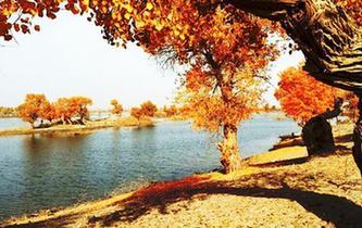 深秋新疆塔裏木河源頭金色胡楊景色唯美