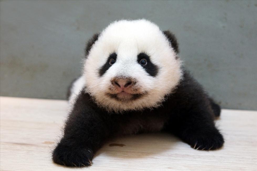 台北动物园大熊猫征名活动将截止