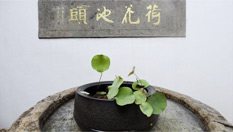 """杭州:宋代古蓮""""復活"""""""