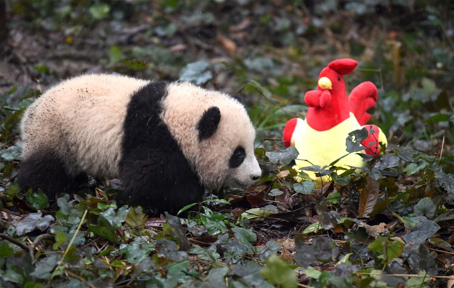 china sichuan yaan giant panda