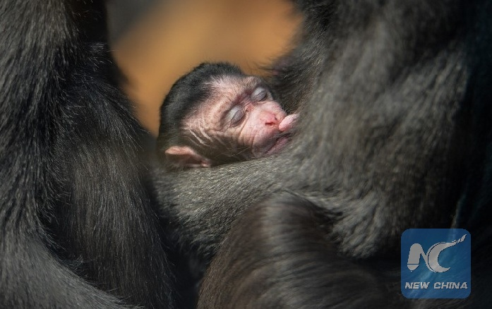 british zoo unveils pictures of rare baby monkey - xinhua | english