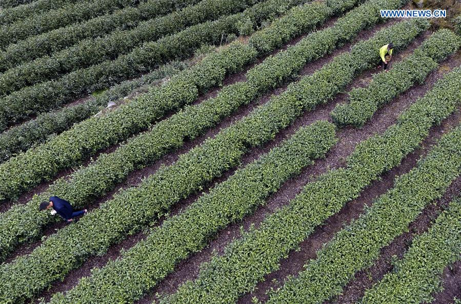 #CHINA-GANSU-TEA HARVEST (CN)